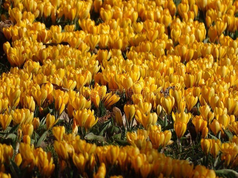 Κίτρινος τάπητας κρόκων στοκ εικόνες