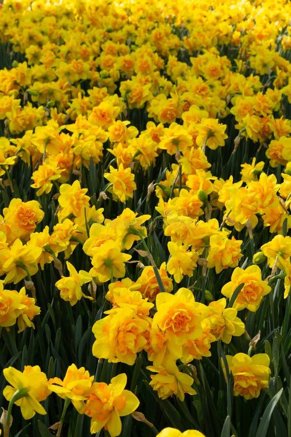Κίτρινος τάπητας λουλουδιών άνοιξη στοκ εικόνα