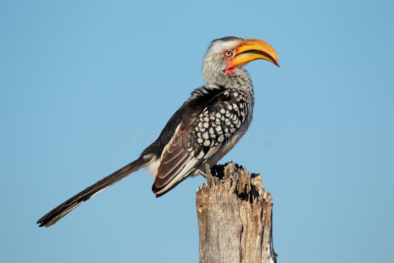 Κίτρινος-τιμολογημένος hornbill στοκ φωτογραφίες
