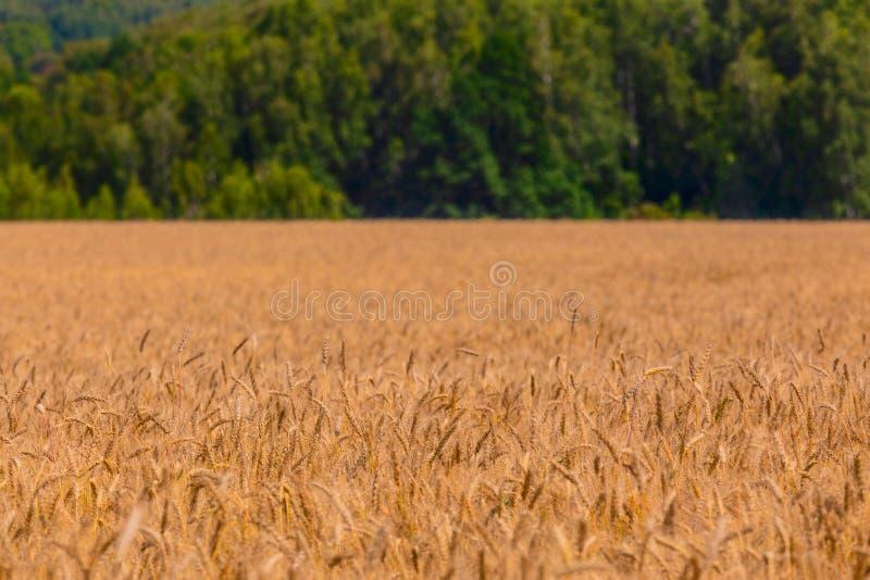 Κίτρινος τομέας κριθαριού στην ημέρα κάτω από το άμεσο φως του ήλιου Μουτζουρωμένη ευθεία πράσινη δασική γραμμή στο υπόβαθρο στοκ εικόνες με δικαίωμα ελεύθερης χρήσης