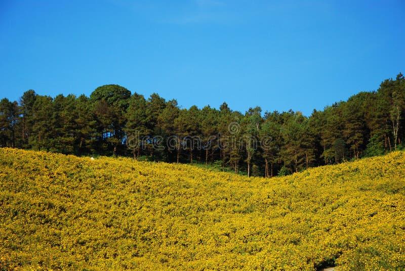 Κίτρινος τομέας λουλουδιών στην Ταϊλάνδη στοκ φωτογραφία με δικαίωμα ελεύθερης χρήσης