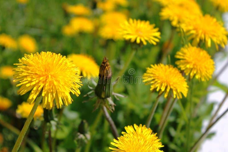 Κίτρινος τομέας πικραλίδων το καλοκαίρι στοκ φωτογραφία με δικαίωμα ελεύθερης χρήσης