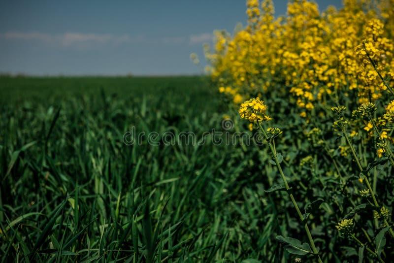 Κίτρινος τομέας συναπόσπορων και πράσινος τομέας του σίτου κάτω από το μπλε ουρανό στοκ φωτογραφίες