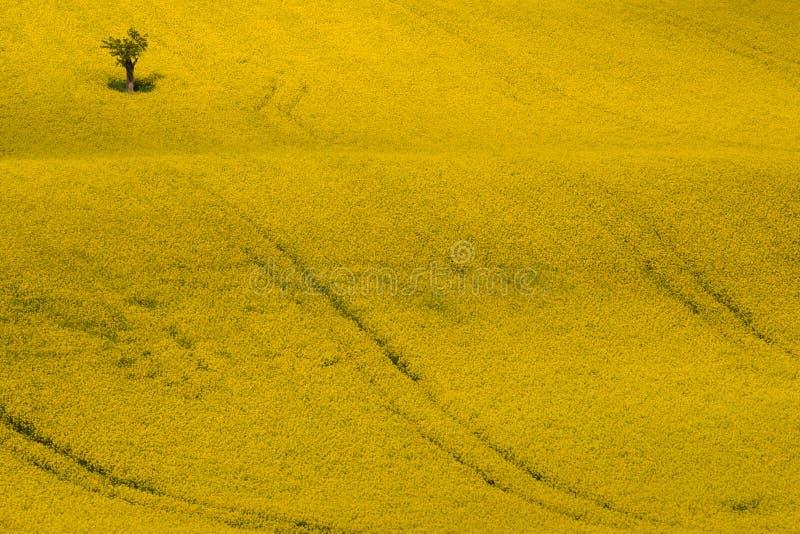 Κίτρινος τομέας συναπόσπορων, Canola ή ελαίου κολζά με το δέντρο της Apple Καταπληκτικό κραμβολάχανο Napus, χρονική άποψη ανοίξεω στοκ φωτογραφίες
