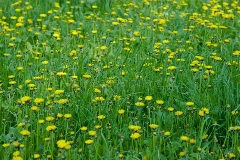 Κίτρινος τομέας των πικραλίδων στο πάρκο, Ουλιάνοφσκ στοκ φωτογραφία με δικαίωμα ελεύθερης χρήσης