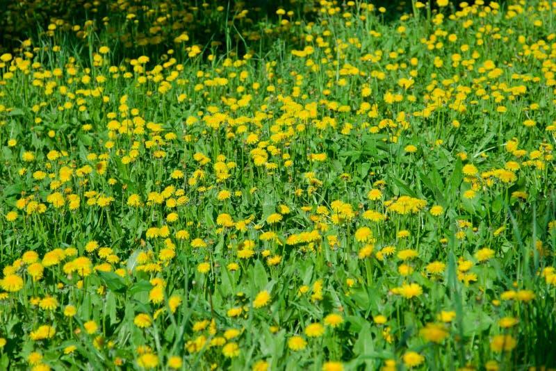 Κίτρινος τομέας των πικραλίδων στο πάρκο, Ουλιάνοφσκ στοκ φωτογραφία