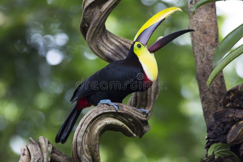 Κίτρινος-το ambiguus Toucan Ramphastos στοκ εικόνες