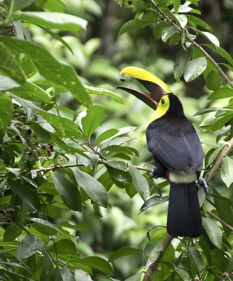 Κίτρινος-το ambiguus Toucan Ramphastos στοκ φωτογραφία