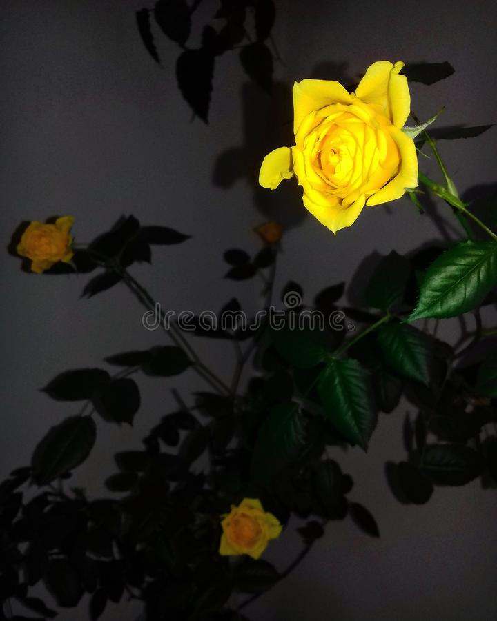 Κίτρινος όμορφος συμπαθητικός λουλουδιών στοκ εικόνες με δικαίωμα ελεύθερης χρήσης