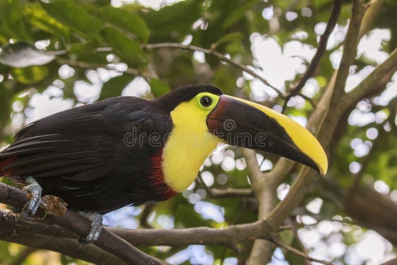 Κίτρινος-Toucan στοκ εικόνες