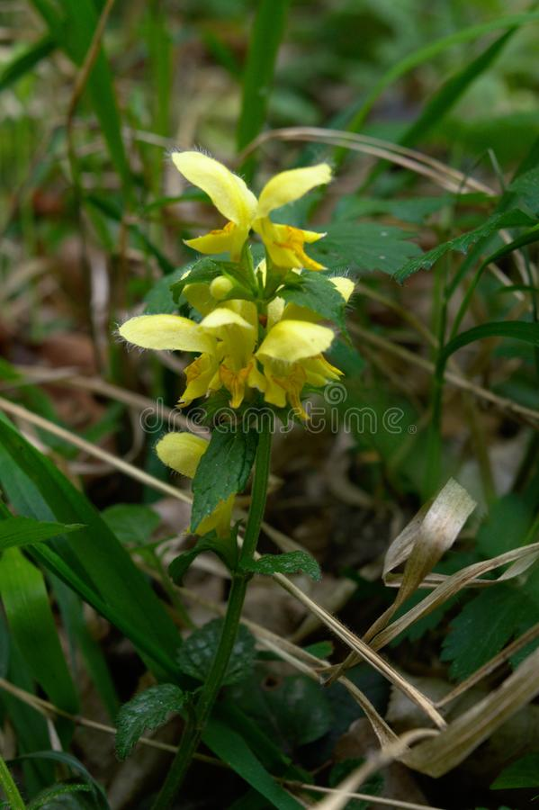 Κίτρινο άγριο λουλούδι αρχαγγέλων στοκ εικόνες