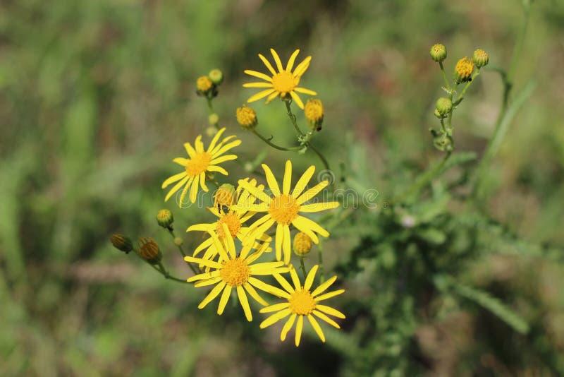 Κίτρινο άγριο λουλούδι σε λιβάδι στοκ φωτογραφίες