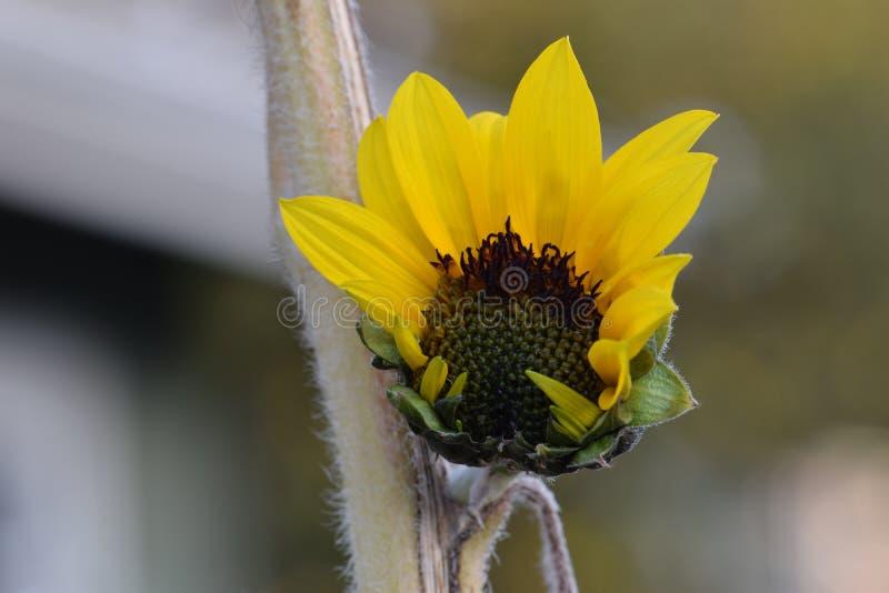 Κίτρινο άνοιγμα ηλίανθων στοκ εικόνα με δικαίωμα ελεύθερης χρήσης