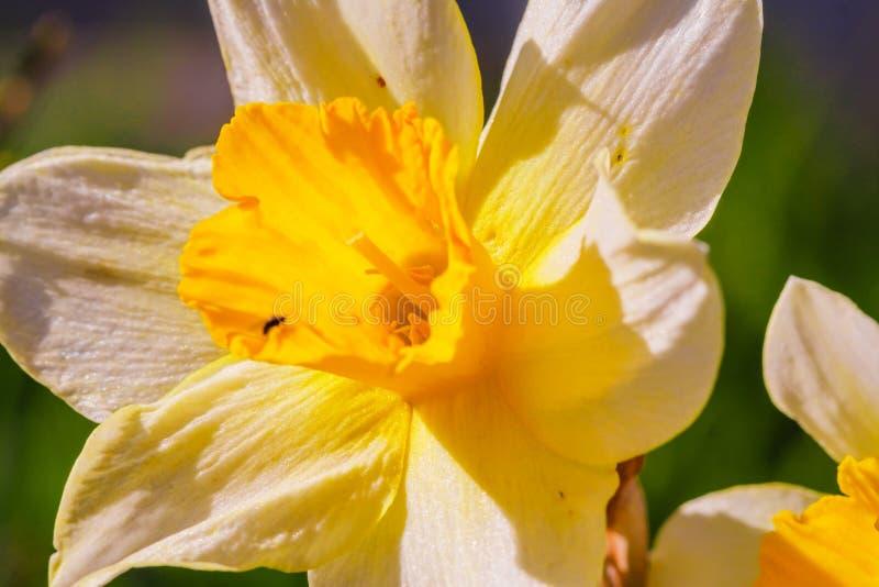 Κίτρινο άσπρο λουλούδι ναρκίσσων Λουλούδια ναρκίσσων daffodil, πράσινο υπόβαθρο φύλλων στοκ εικόνες με δικαίωμα ελεύθερης χρήσης
