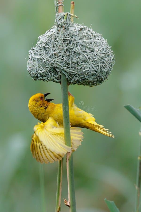 Κίτρινο αρσενικό υφαντών με τη φωλιά στοκ φωτογραφίες με δικαίωμα ελεύθερης χρήσης