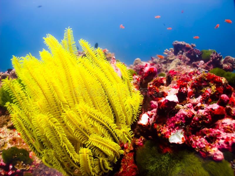 Κίτρινο αστέρι θάλασσας στοκ φωτογραφία με δικαίωμα ελεύθερης χρήσης