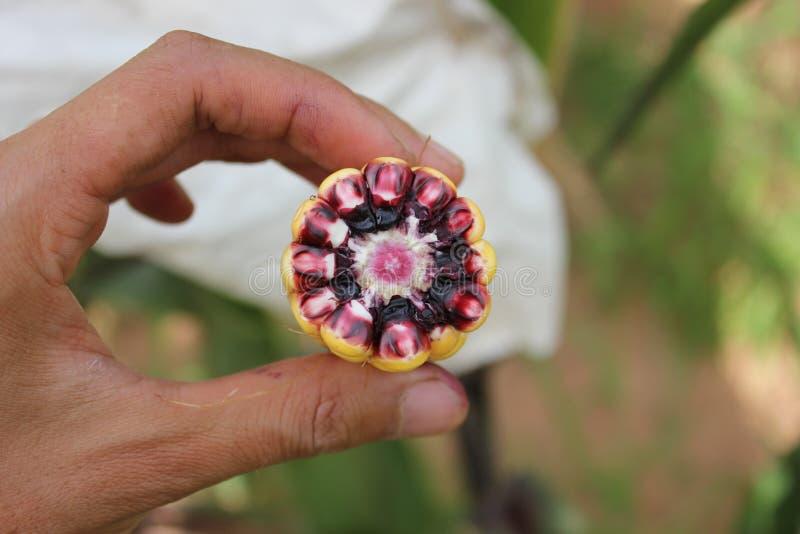 Κίτρινο αυτί καλαμποκιού που παρουσιάζει χρώματα του σπάδικα και του πυρήνα στοκ εικόνες με δικαίωμα ελεύθερης χρήσης