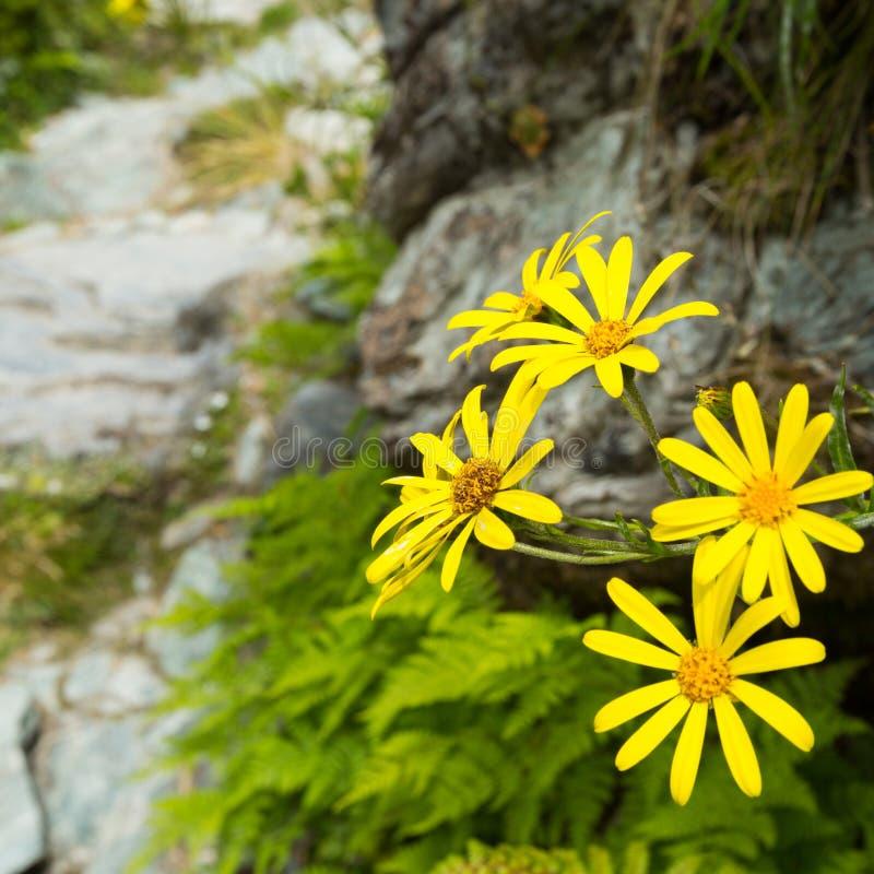 Κίτρινο αλπικό λουλούδι στοκ εικόνα με δικαίωμα ελεύθερης χρήσης