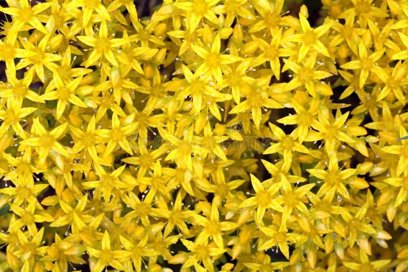 Κίτρινο αλπικό υπόβαθρο σύστασης λουλουδιών στοκ φωτογραφίες με δικαίωμα ελεύθερης χρήσης