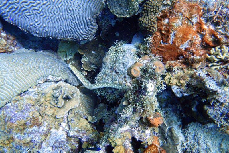 Κίτρινο επισημασμένο seasnake χέλι που κολυμπά μέσω του κοραλλιού στο κατώτατο σημείο του ωκεανού στοκ φωτογραφία