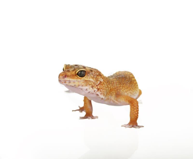 κίτρινο και επισημασμένο πορτοκάλι gecko λεοπαρδάλεων στο λευκό στοκ εικόνες