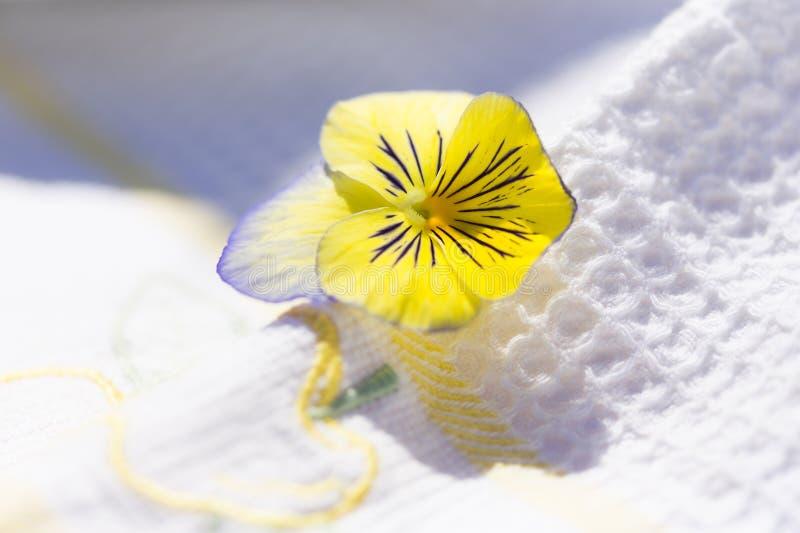 Κίτρινο και χλωμό ιώδες pansy λουλούδι στοκ εικόνες