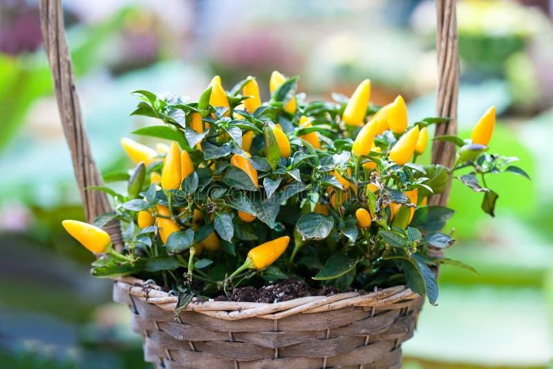 Κίτρινο καλάθι λουλουδιών εγκαταστάσεων πιπεριών Όμορφη ζωηρόχρωμη διακοσμητική πράσινη φύλλων φωτογραφία εστίασης λαχανικών εκλε στοκ φωτογραφία με δικαίωμα ελεύθερης χρήσης