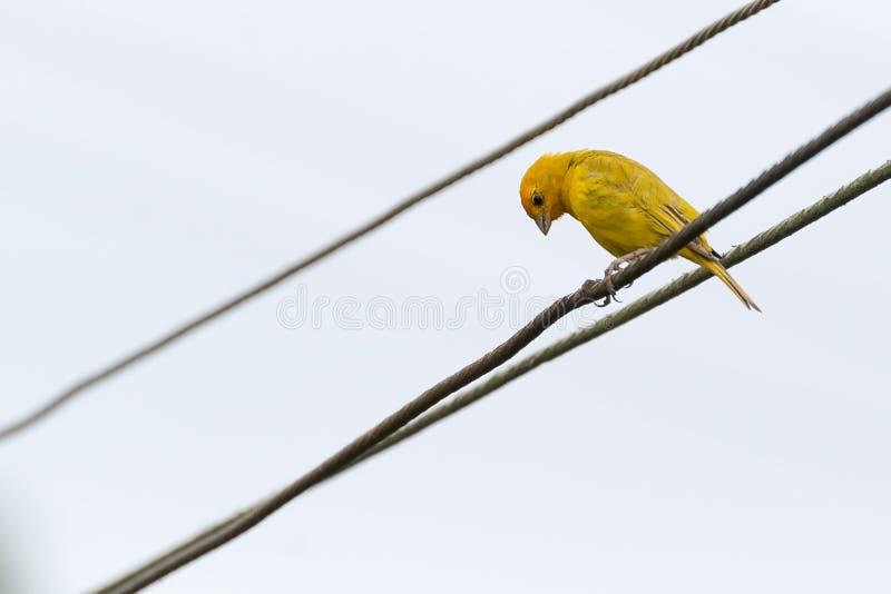 Κίτρινο καναρίνι που σκαρφαλώνει σε μια γραμμή ηλεκτρικής δύναμης στοκ εικόνες