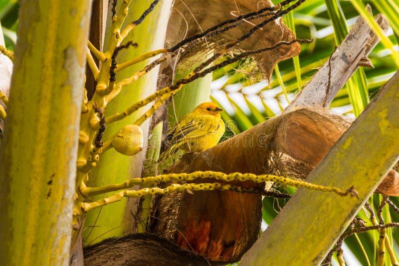 Κίτρινο καναρίνι στοκ φωτογραφίες με δικαίωμα ελεύθερης χρήσης