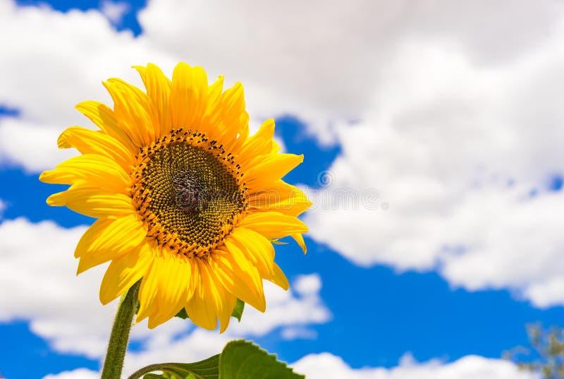 Κίτρινο κεφάλι ηλίανθων ενάντια στον μπλε νεφελώδη ουρανό στοκ εικόνες