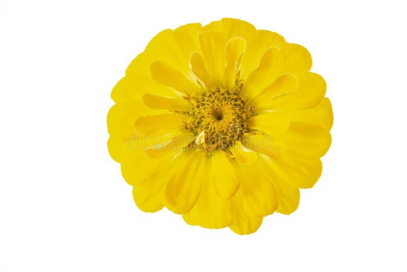 Κίτρινο κεφάλι λουλουδιών violacea της Zinnia Zinnia στοκ εικόνες