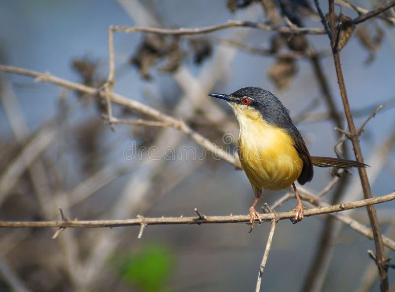 κίτρινο κόκκινο μάτι κινηματογραφήσεων σε πρώτο πλάνο πουλιών prinia μικρό στοκ φωτογραφία με δικαίωμα ελεύθερης χρήσης