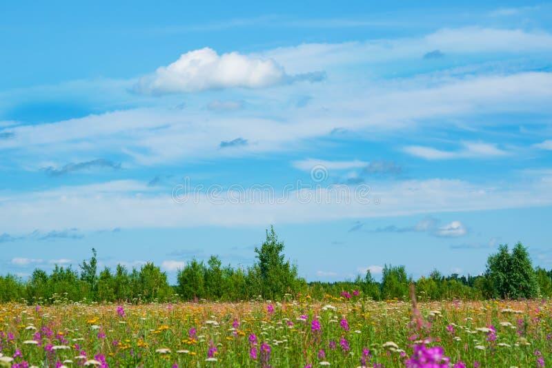Κίτρινο λιβάδι, wildflowers, yarrow, κυπαρίσσι, χλόη σε ένα λιβάδι με τα πράσινα δέντρα και άσπρα σύννεφα το καλοκαίρι μπλε ουραν στοκ φωτογραφία με δικαίωμα ελεύθερης χρήσης