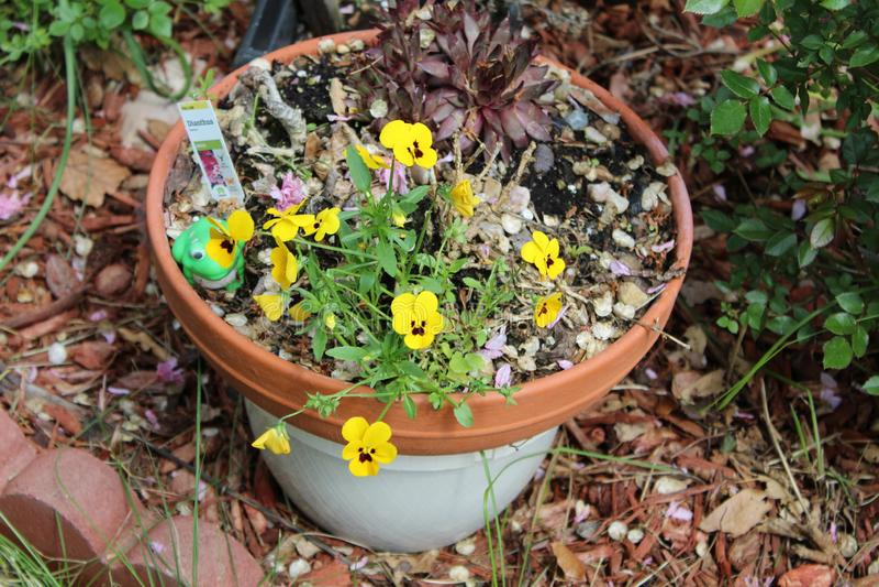 Κίτρινο λουλούδι δοχείων λουλουδιών στοκ φωτογραφίες