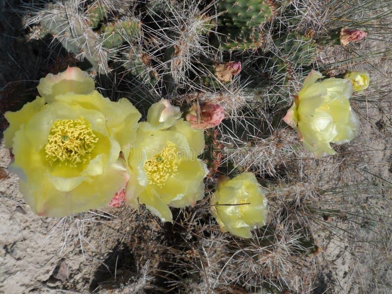 Κίτρινο λουλούδι κάκτων στις ανθίσεις τον Ιούνιο στοκ εικόνες