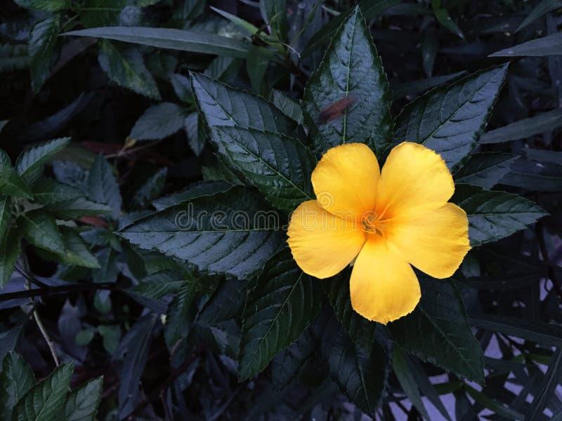 Κίτρινο λουλούδι με τα πολύ σκοτεινά φύλλα χρώματος στο υπόβαθρο στοκ φωτογραφίες