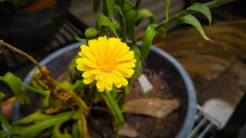 Κίτρινο λουλούδι με το όμορφο χρώμα στοκ εικόνα