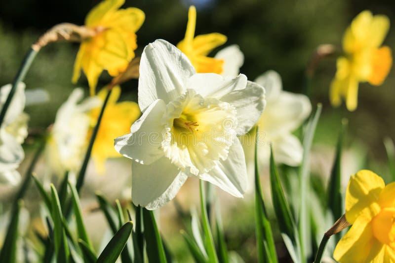 Κίτρινο λουλούδι ναρκίσσων στο ηλιοβασίλεμα στοκ εικόνες με δικαίωμα ελεύθερης χρήσης