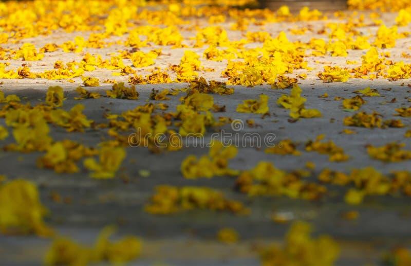 """Κίτρινο λουλούδι πετάλων που πέφτει από Ï""""Î¿ μεγάλο δέντρο λεοπαρδάλεων στοκ φωτογραφία"""