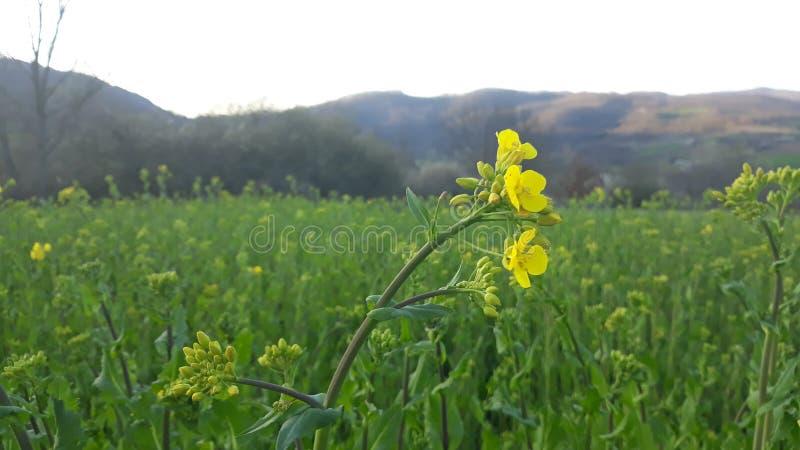 Κίτρινο λουλούδι στον πράσινο τομέα στοκ φωτογραφία με δικαίωμα ελεύθερης χρήσης