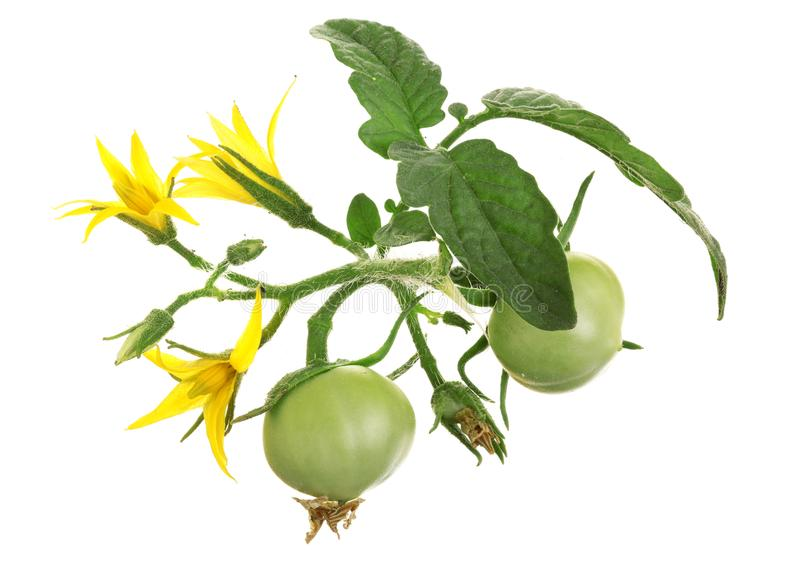 Κίτρινο λουλούδι την πράσινη ντομάτα που απομονώνεται με στο υπόβαθρο whtie στοκ φωτογραφία