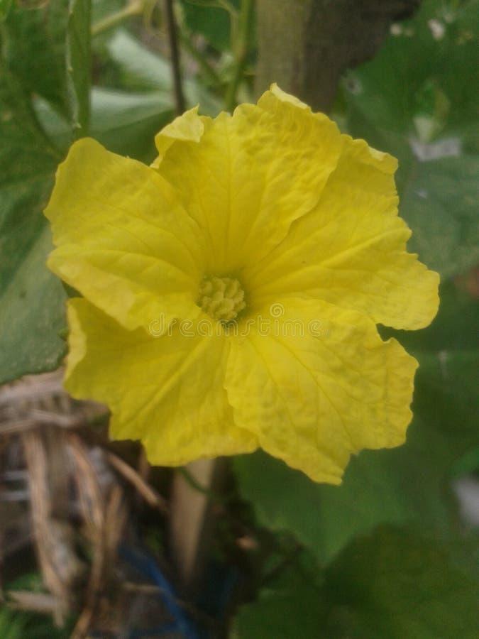 Κίτρινο λουλούδι της Νίκαιας στοκ εικόνα