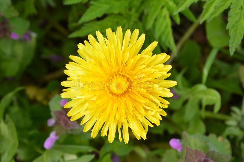 Κίτρινο λουλούδι της πικραλίδας στο πράσινο υπόβαθρο στοκ εικόνες