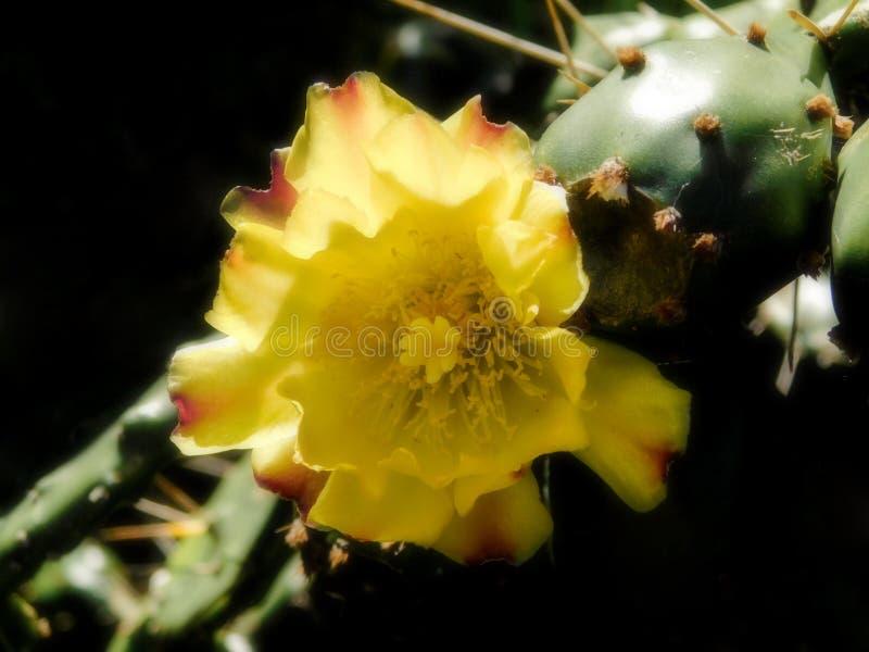 Κίτρινο λουλούδι τραχιών αχλαδιών στοκ φωτογραφία με δικαίωμα ελεύθερης χρήσης