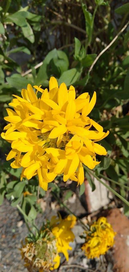 Κίτρινο λουλούδι χρυσάνθεμων στην εικόνα ηλιοφάνειας πρωινού κήπων στοκ φωτογραφία με δικαίωμα ελεύθερης χρήσης