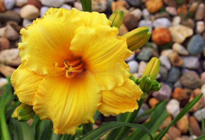 Κίτρινο λουλούδι daylily στοκ εικόνα με δικαίωμα ελεύθερης χρήσης