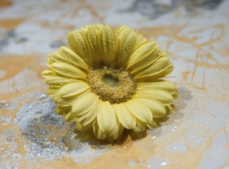 Κίτρινο λουλούδι gerbera, σε ένα χρωματισμένο υπόβαθρο, μακροεντολή στοκ φωτογραφίες