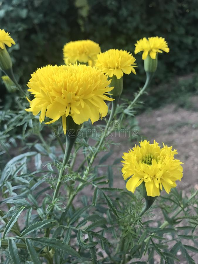 Κίτρινο λουλούδι pethiya DAS στη Σρι Λάνκα στοκ εικόνες με δικαίωμα ελεύθερης χρήσης