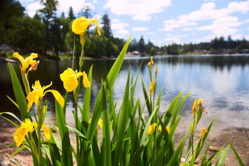 Κίτρινο μπάλωμα της Iris στην παραλία στοκ εικόνα