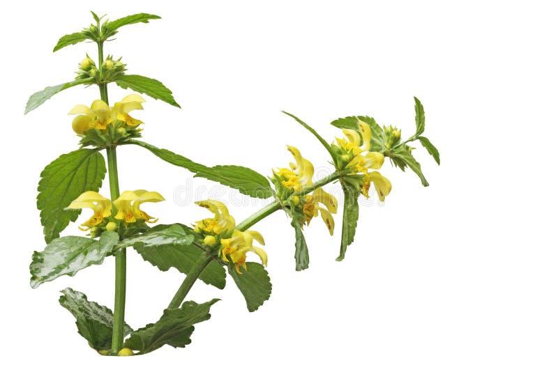 Κίτρινο λουλούδι αρχαγγέλων στοκ φωτογραφία με δικαίωμα ελεύθερης χρήσης